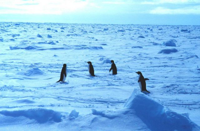 Adelie penguins walking on sea ice in the Ross Sea. Picture