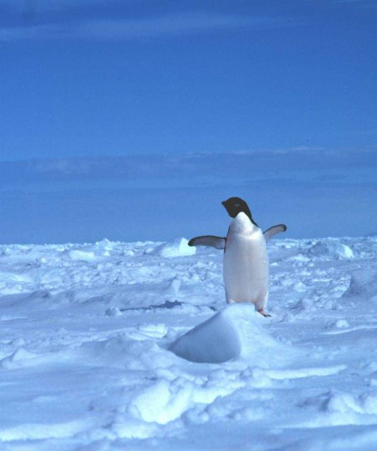 Adelie penguin on the sea ice. Picture
