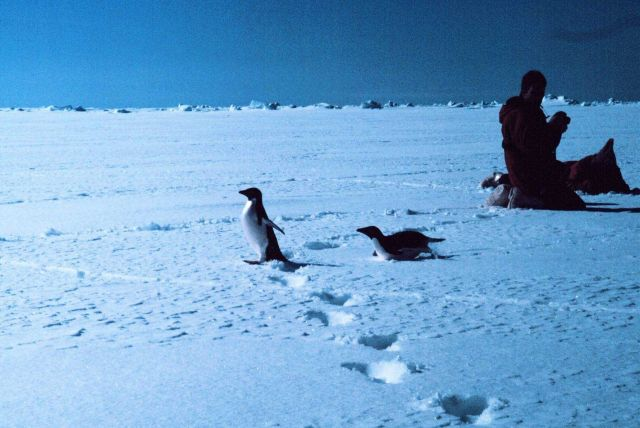 Scientists photographing Adelie penguins Picture