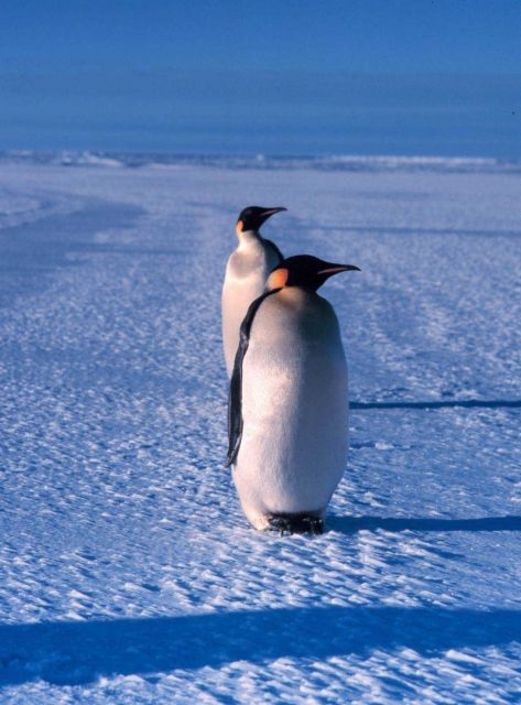 Emperor penguins. Picture
