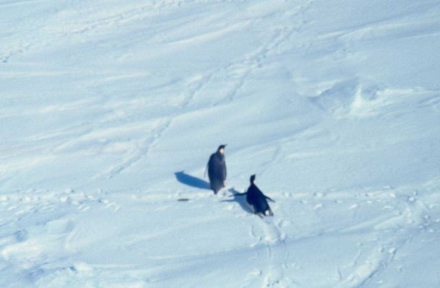 Emperor penguins on the sea ice Picture
