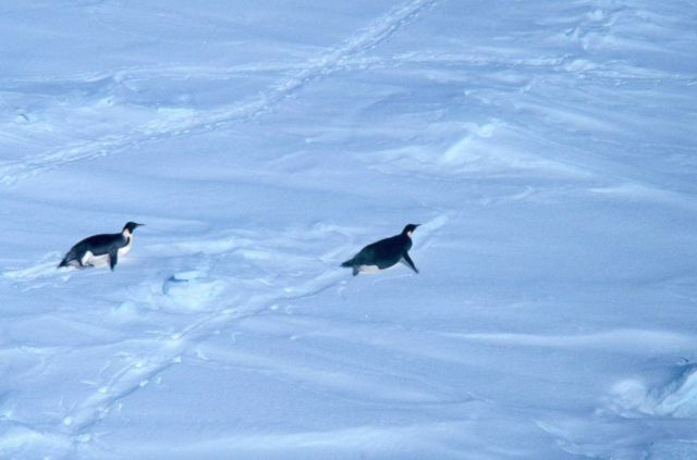 Emperor penguins tobogganing over the snow. Picture