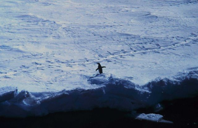 Adelie penguin on the sea ice Picture