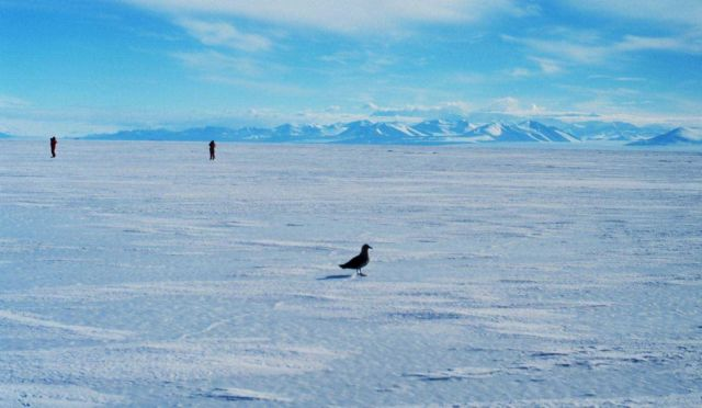 Skua and scientists on the sea ice. Picture