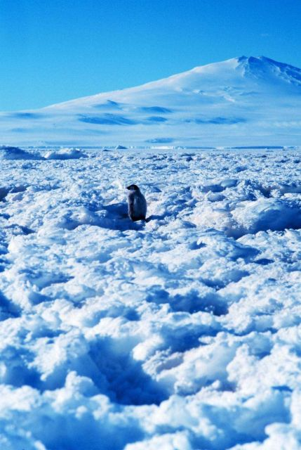 Emperor penguin chick at Cape Washington in the Ross Sea Picture