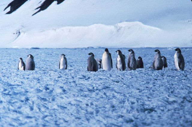 Emperor penguin colony at Cape Washington in the Ross Sea Picture