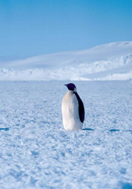 Emperor penguin at Cape Washington in the Ross Sea Picture