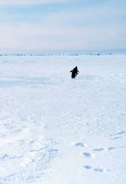 Adelie penguins running on the sea ice. Picture
