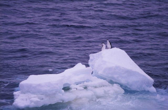 Chinstrap penguins wave to the SURVEYOR as it tracks south to the Southern Ocean . Picture