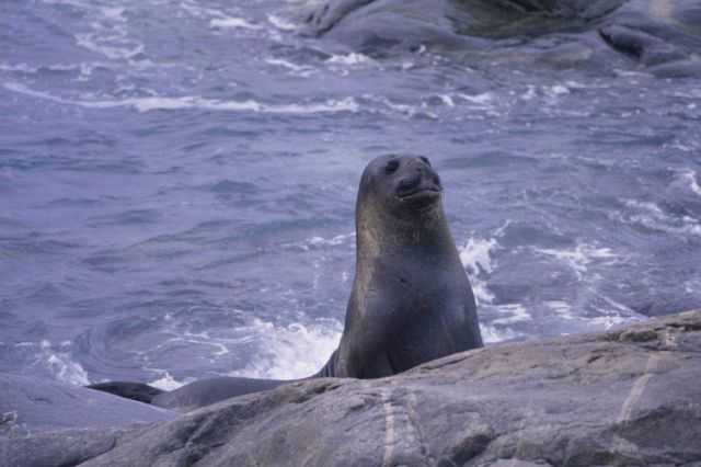 Fur Seal at the beach. Picture