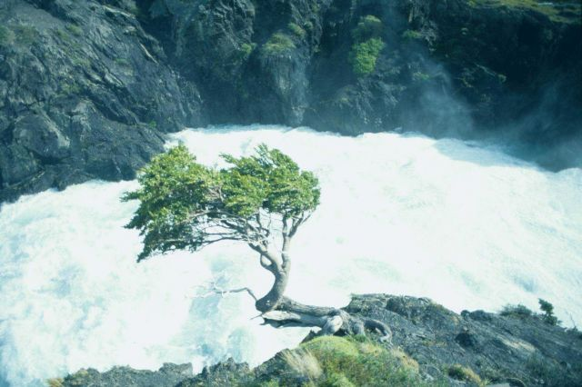 Windswept tree near the raging river. Picture