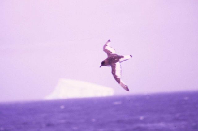 Giant Albatross. Picture