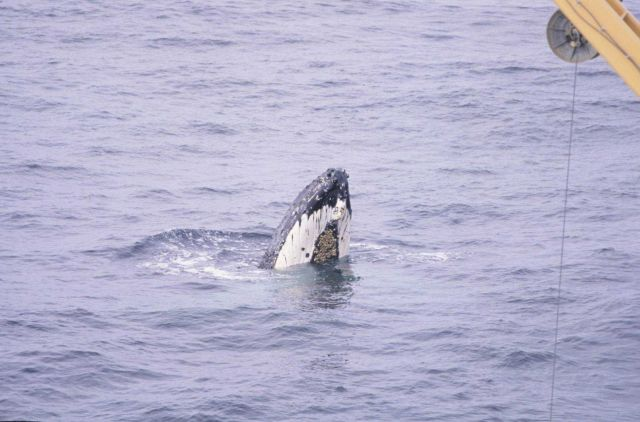 Humpback Whale, spyhopping. Picture