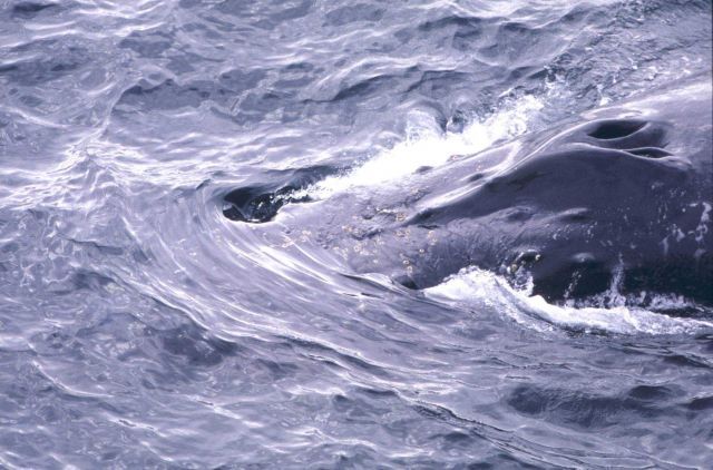 Humpback Whale blow hole. Picture