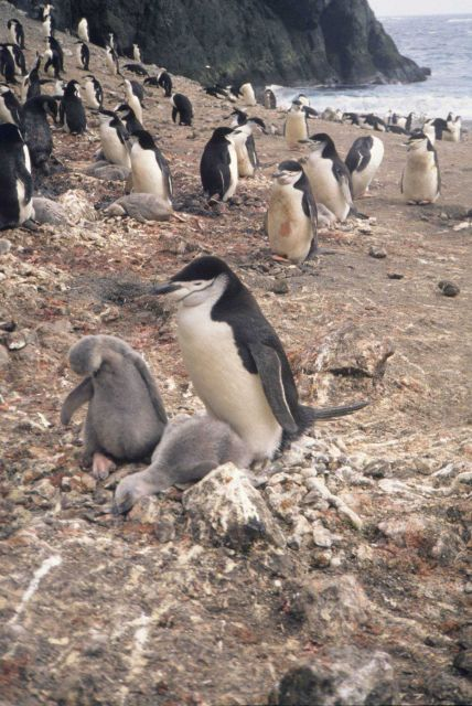 Chin strap penguin and chicks. Picture