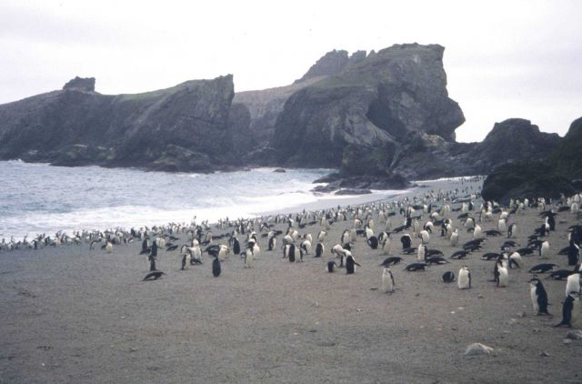 Chin strap penguin rookery. Picture
