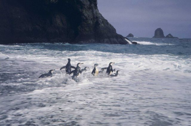 Chin strap penguins in the surf. Picture