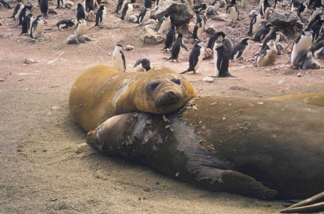 Elephant seals. Picture