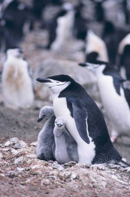 Chinstrap penguin and chicks. Picture