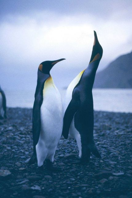 King Penguin singing. Picture