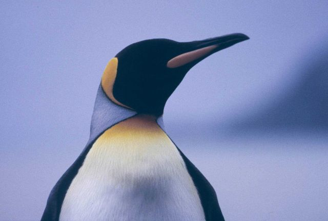 King Penguin (closeup). Picture