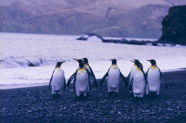 King Penguins at Fortuna Bay. Picture