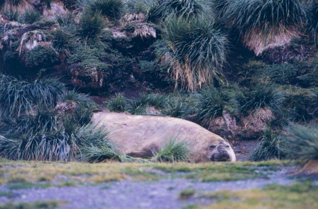 Elephant Seal at Fortuna Bay. Picture