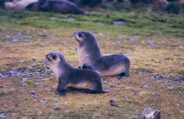 Fur Seals at Fortuna Bay. Picture