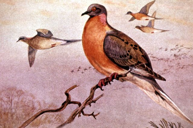 Passenger Pigeon Picture