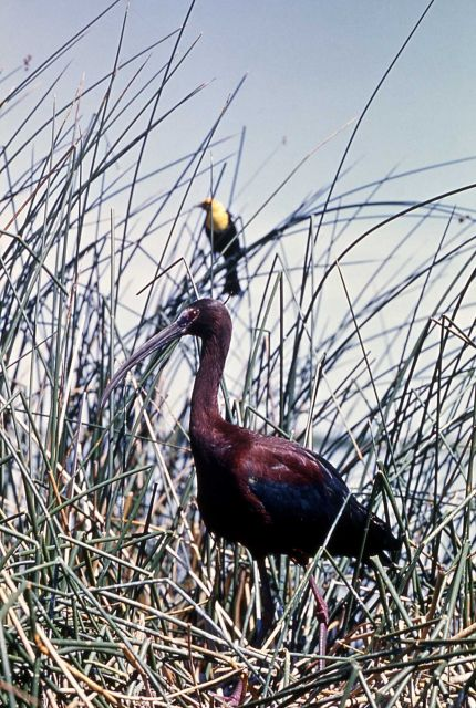 White-faced Ibis & Yellow-headed Blackbird Picture