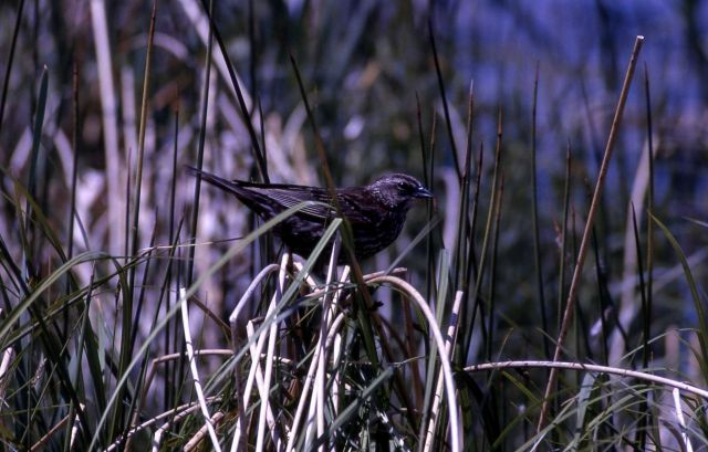 Female Red-winged Blackbird Picture