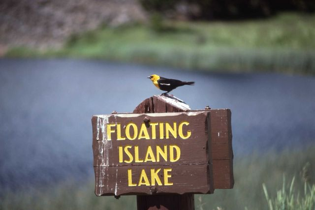 Male Yellow-headed Blackbird at Floating Island Lake Picture