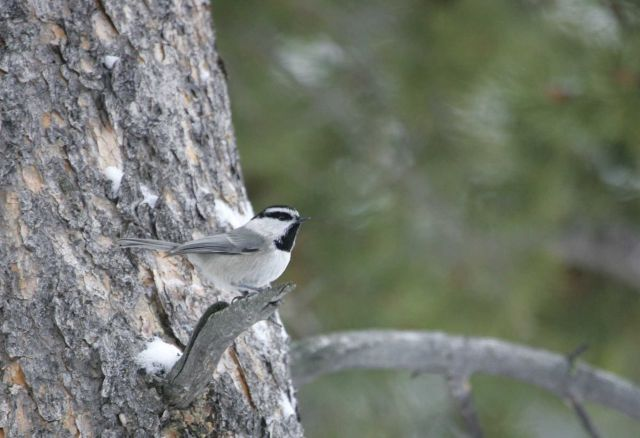 Mountain chickadee near Silver Gate, MT Picture