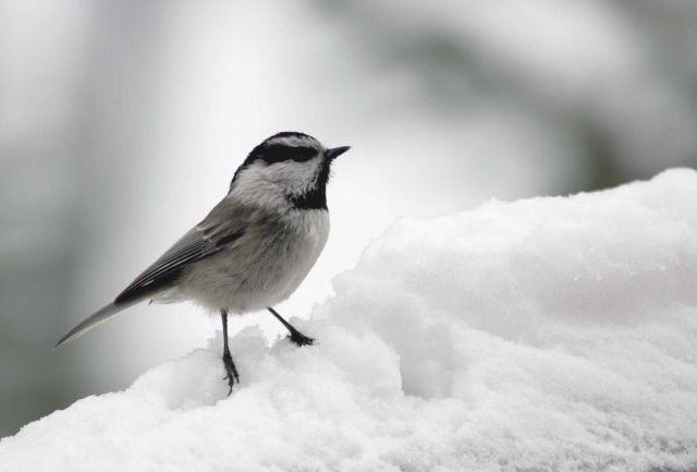 Mountain chickadee near Silver Gate, MT Picture