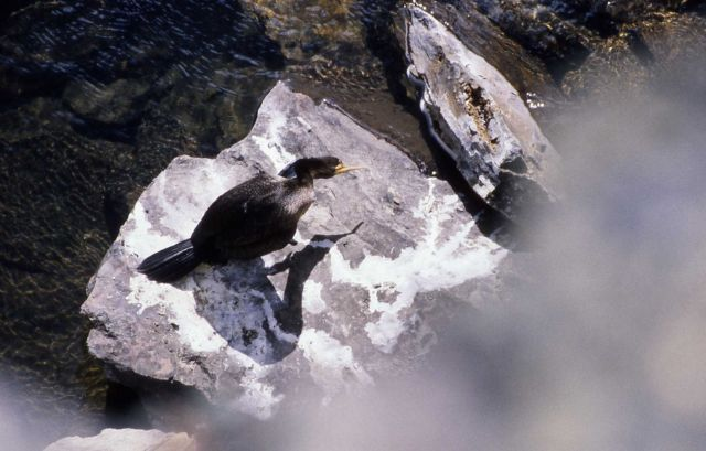 Double-crested cormorant with fish Picture