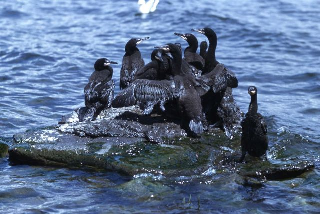 Immature double-crested cormorant Picture
