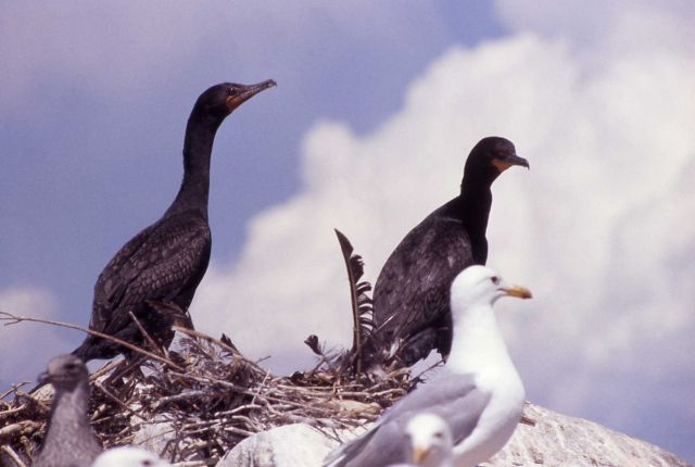 Double-crested cormorant nestlings & California gulls Picture