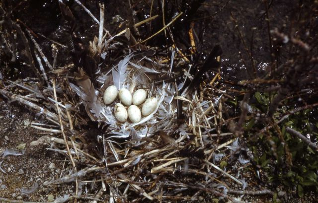 Double-crested cormorant nest with six eggs Picture