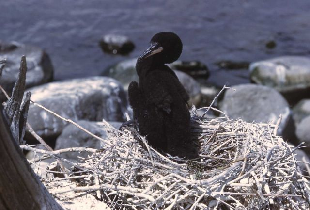 Double-crested cormorant nestling Picture