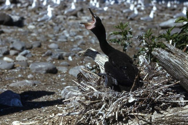 Double-crested cormorant nestling begging Picture
