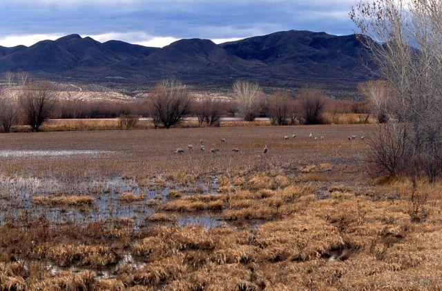 Sandhill Cranes, Bosque del Apache National Wildlife Refuge, New Mexico Picture