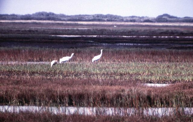 Three Whooping Cranes Picture