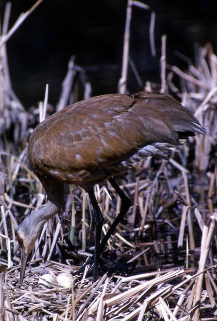 Sandhill Crane foraging Picture