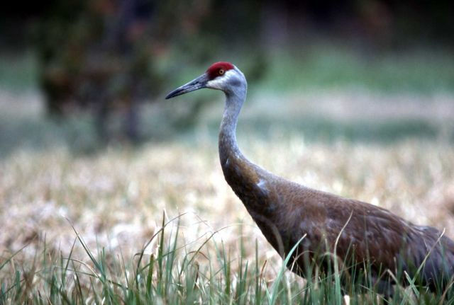Sandhill Crane courtship display sequence Picture