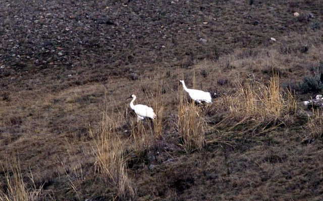 Whooping Crane release Picture