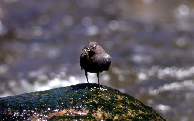 Dipper with insect Picture