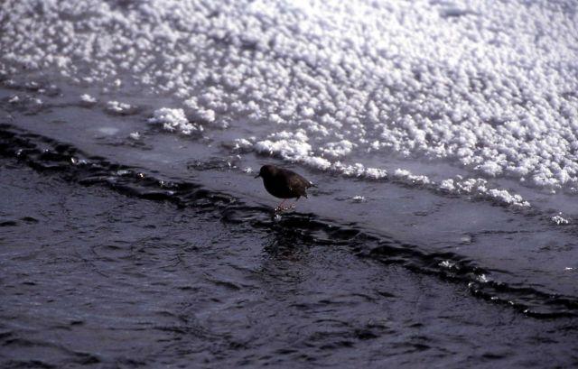 Dipper in Lamar River Picture
