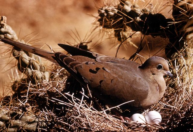Mourning Dove incubating eggs Picture
