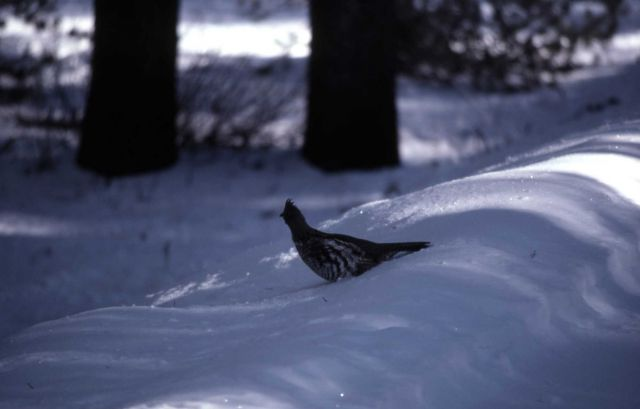 Ruffed Grouse in snow Picture