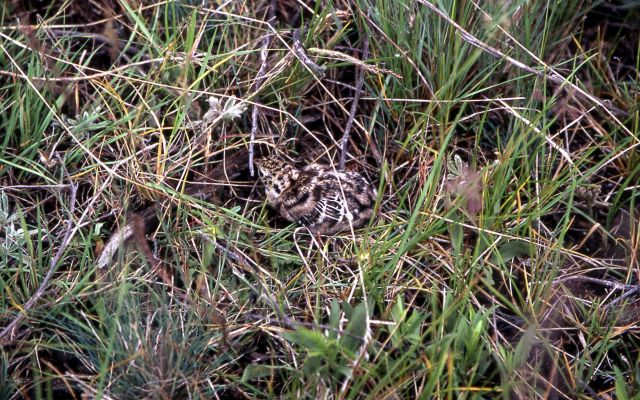 Blue Grouse chick Picture